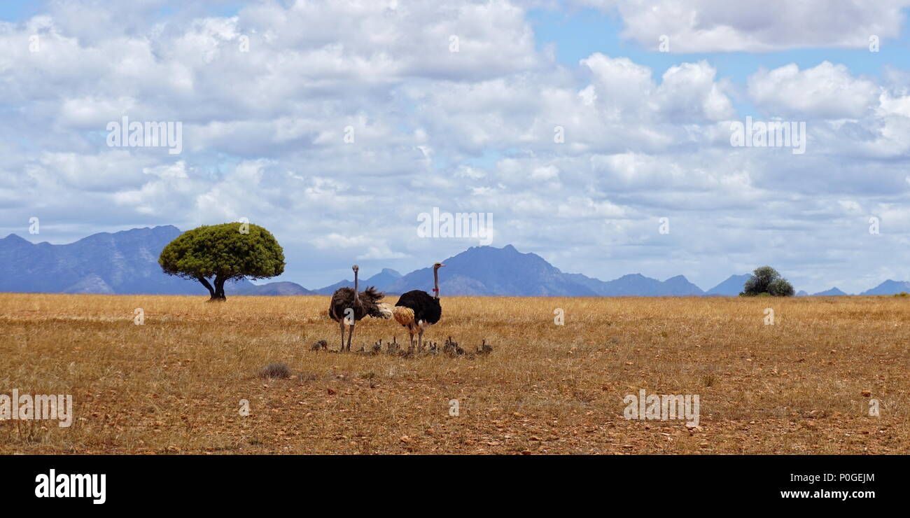 Family of ostriches in Africa Stock Photo