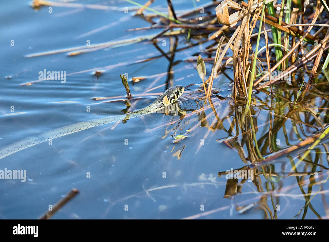 Floating snake, Grass snake (Natrix natrix) with second title is water snake it is good swimmer. It swims squirming all over its body, snake squirms a - Stock Image