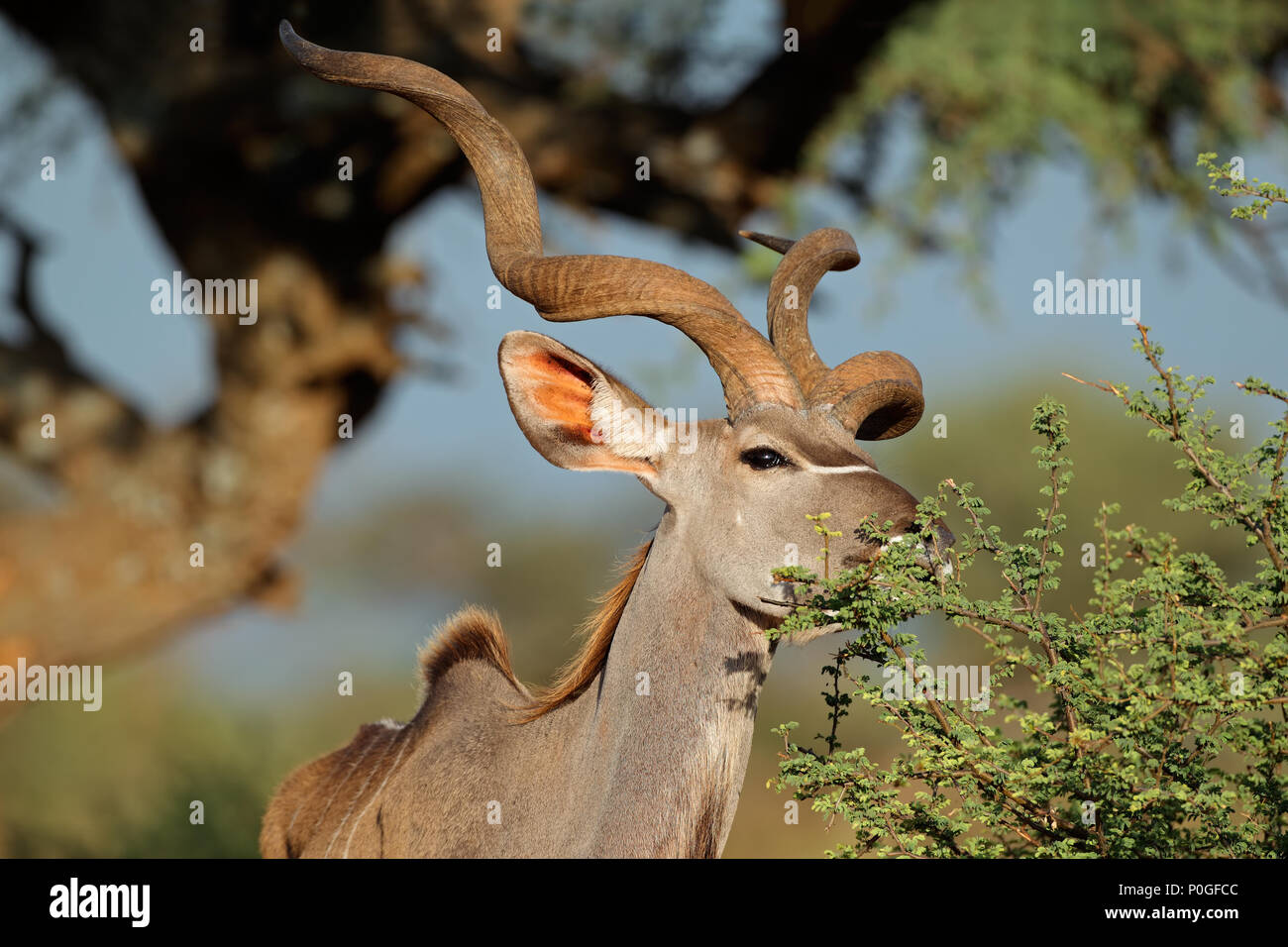 Male kudu antelope (Tragelaphus strepsiceros) feeding in natural habitat, South Africa Stock Photo