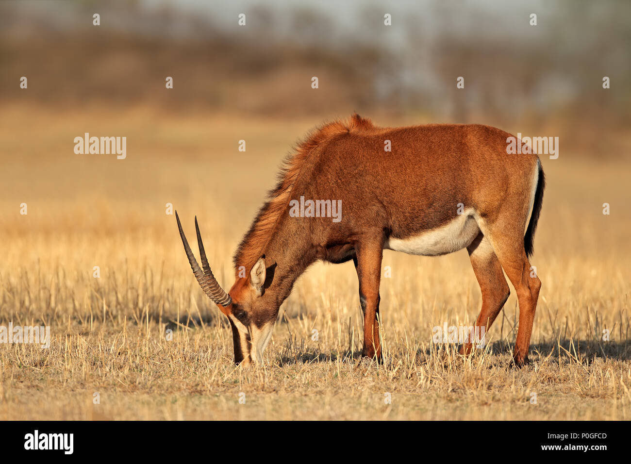 Female sable antelope (Hippotragus niger) grazing, South Africa Stock Photo
