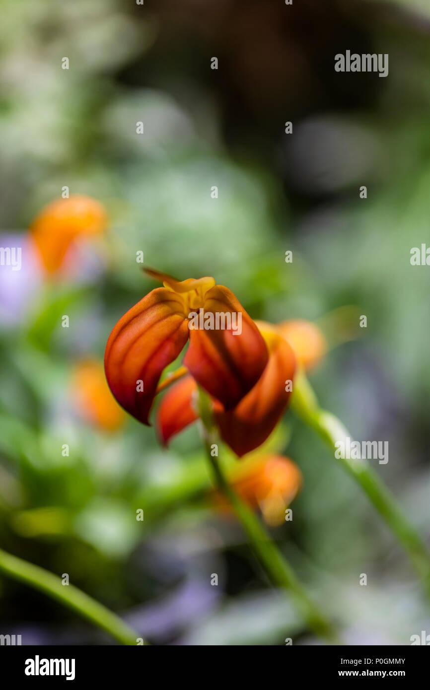Red orange orchid flowers (Masdevallia ignea) Stock Photo