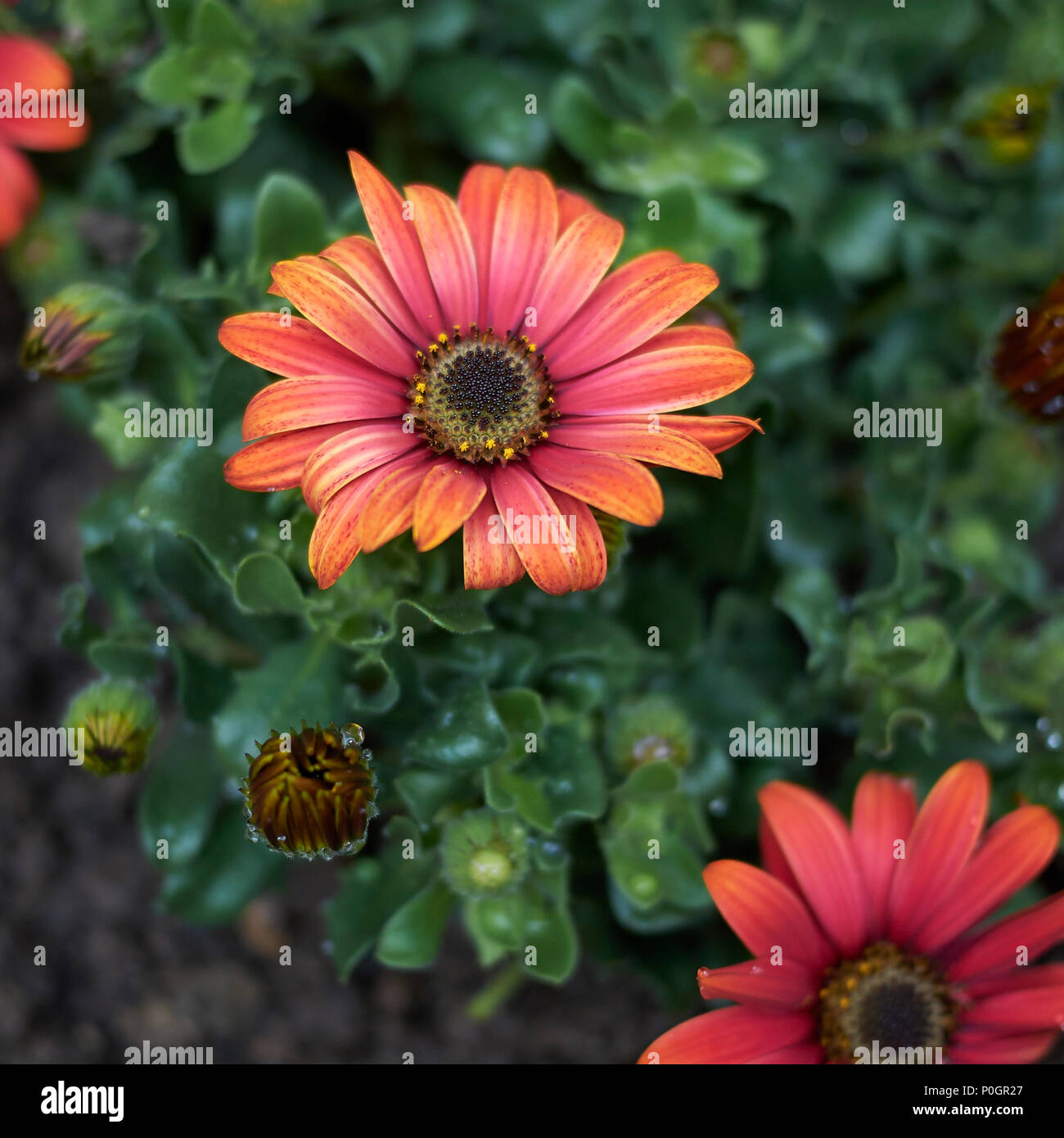 Dimorphotheca red flowers - Stock Image