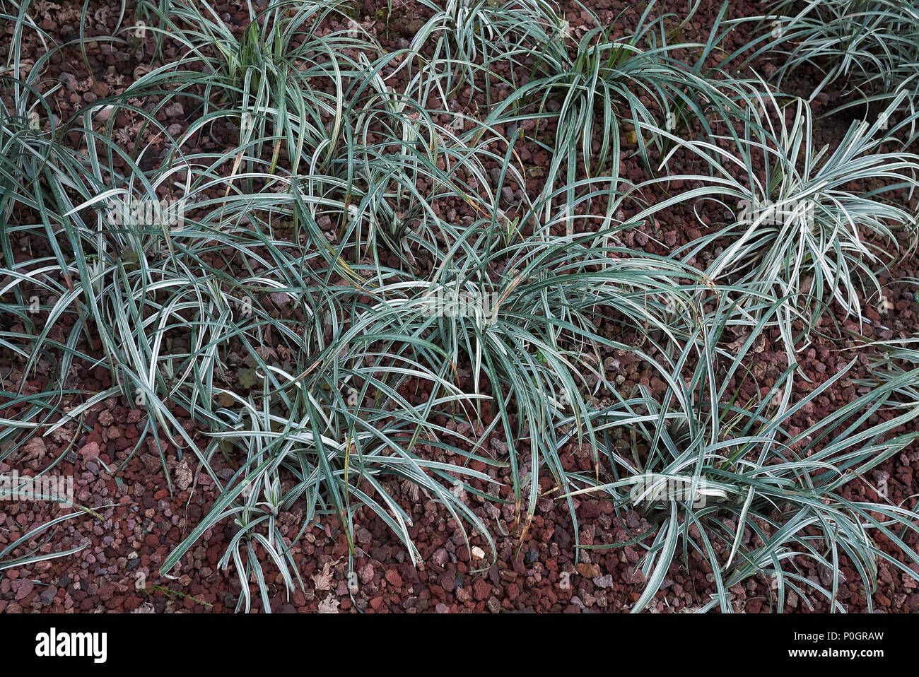 Carex everest in a garden - Stock Image
