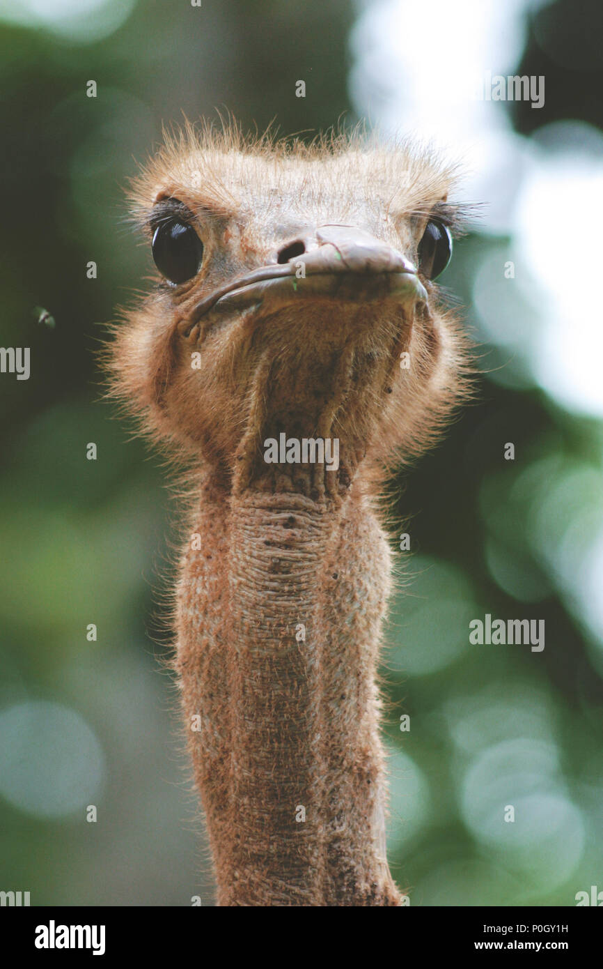 An ostrich looking directly into the camera in Kenya, East Africa. - Stock Image