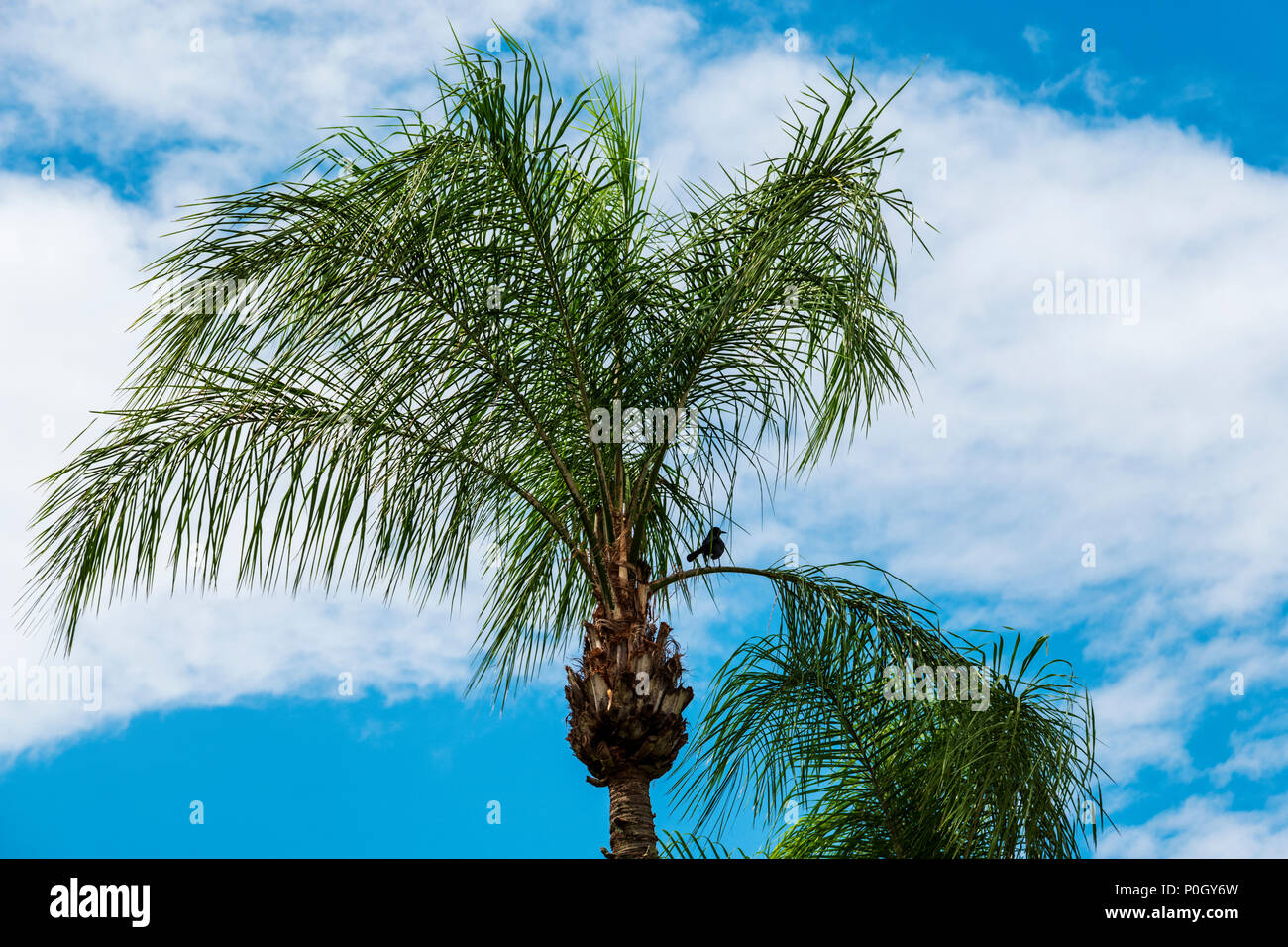 Common blackbird roosting in a palm tree; south central Florida; USA - Stock Image