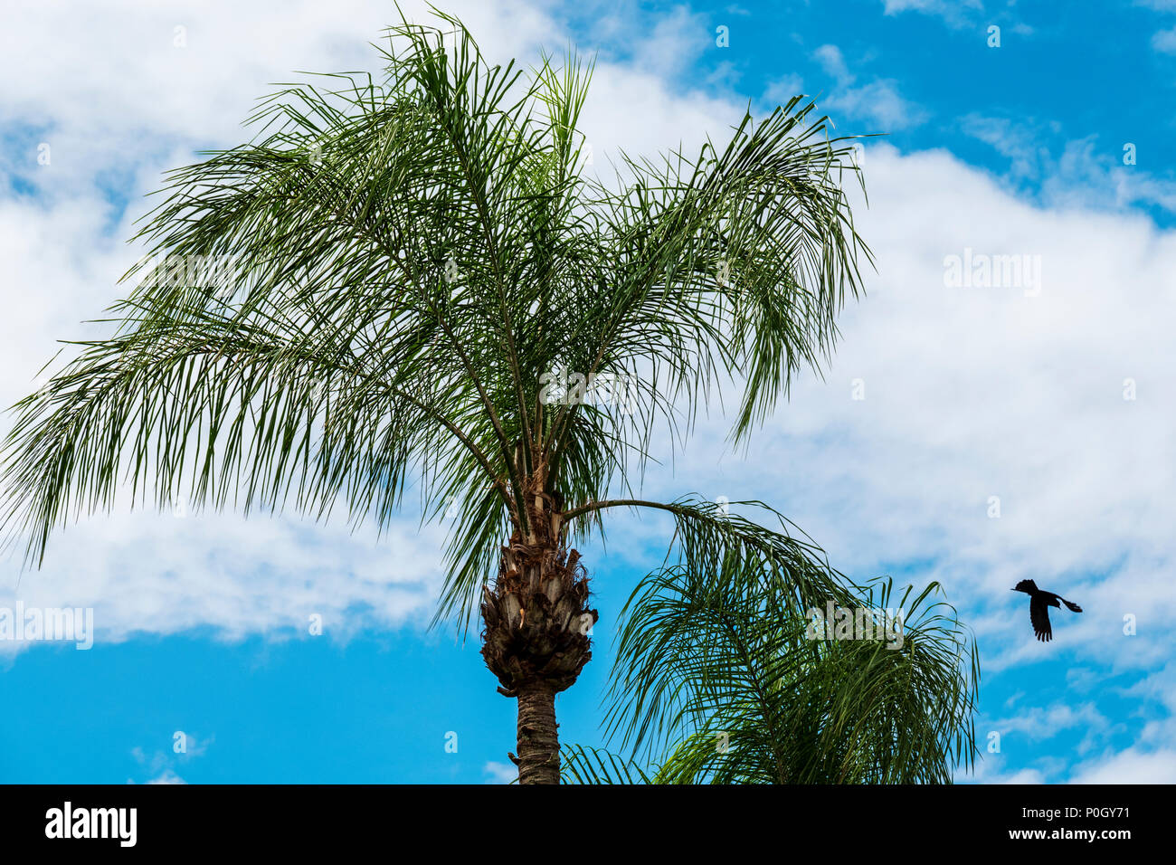 Common blackbird flying from it's roost in a palm tree; south central Florida; USA - Stock Image