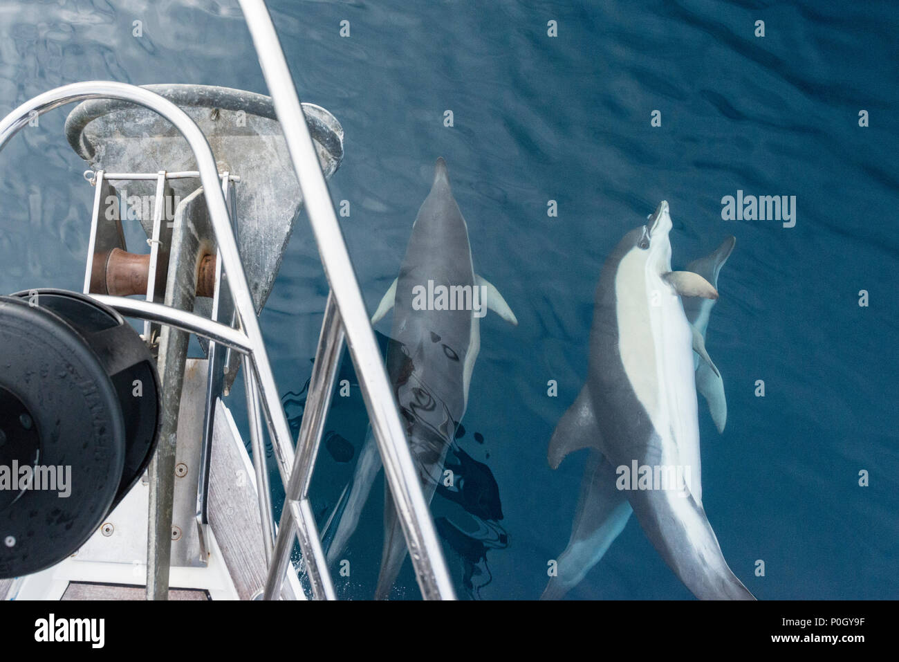Dolphins swimming on the bow of a yacht sailing in the North Atlantic Ocean, close to the coast of Spain. Stock Photo