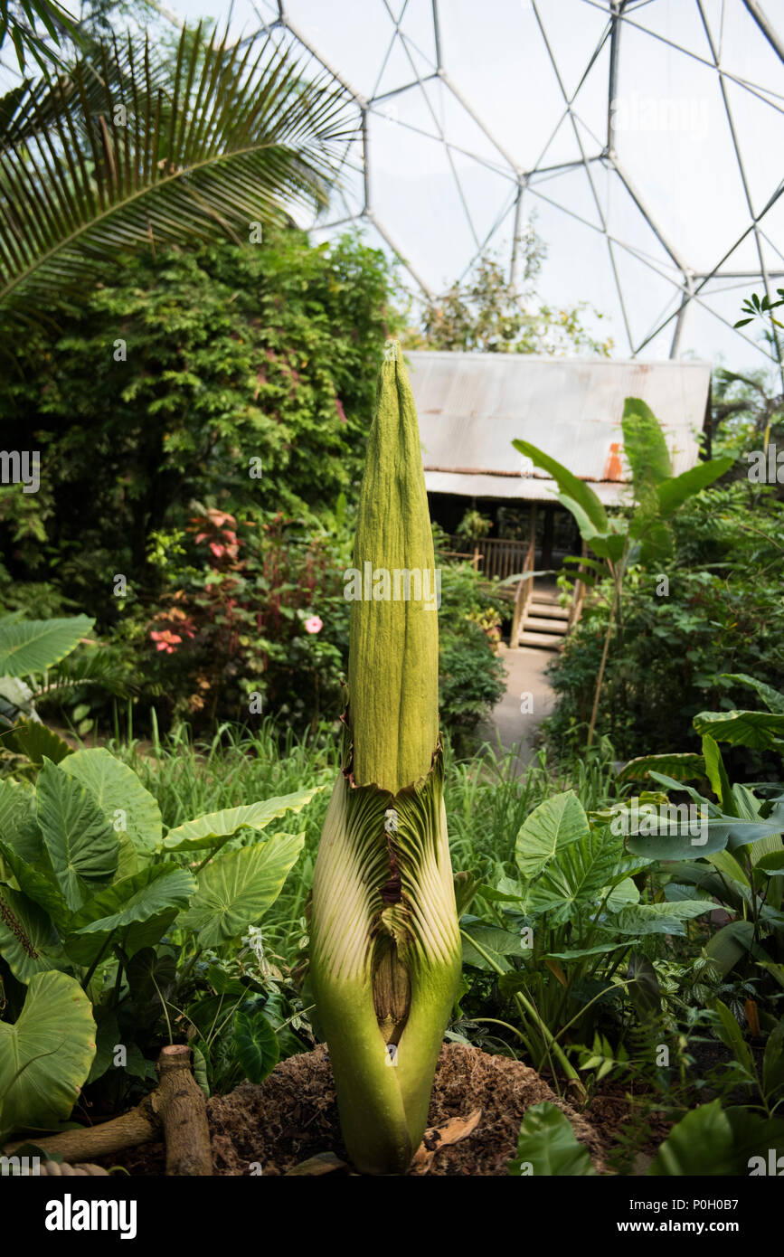 A Titan Arum at the Eden Project (Summer 2018). - Stock Image
