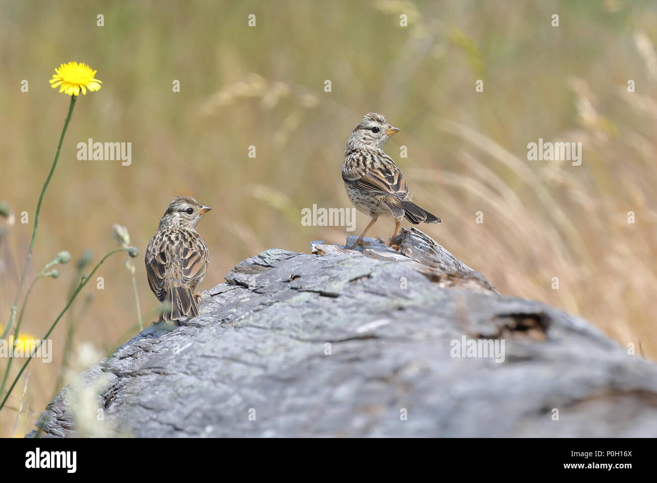 White-crowned Sparrow chicks - Stock Image