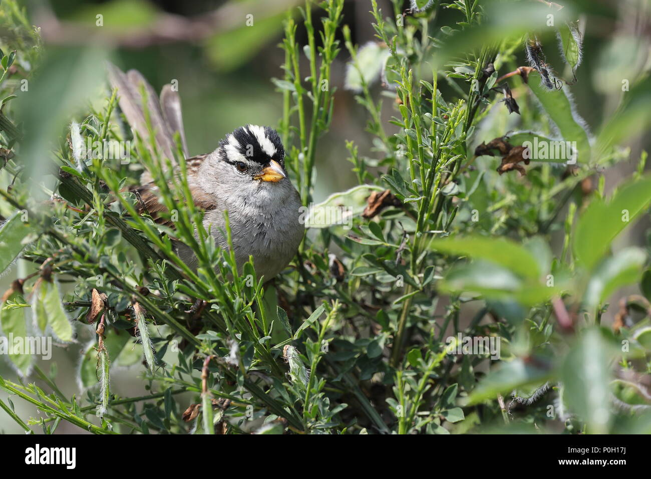 White-crowned Sparrow - Stock Image