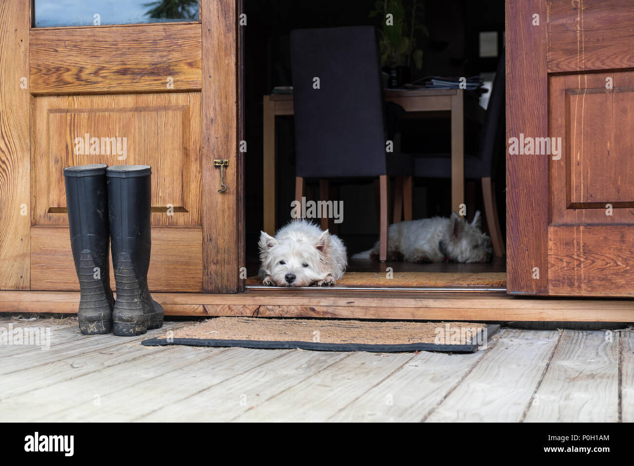 Two bored westies inside a farmhouse, laying on the floor by a door looking outside - landscape orientation - photographed in New Zealand, NZ - Stock Image