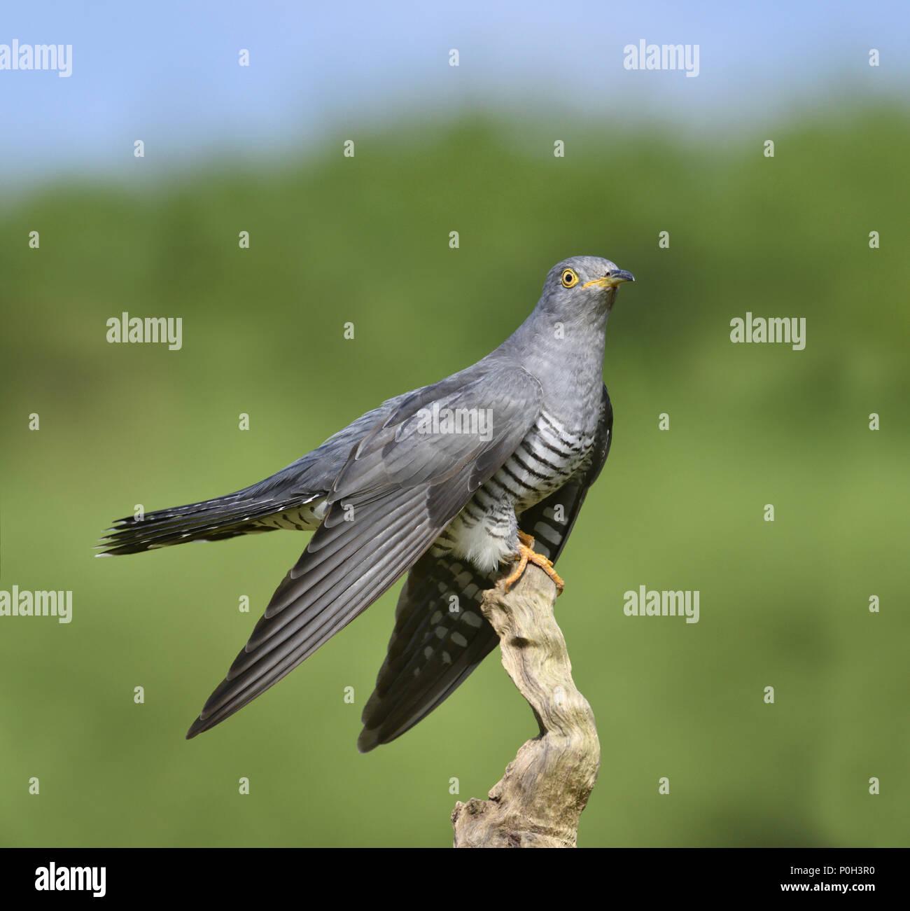 Cuckoo - Cuculus canorus Stock Photo