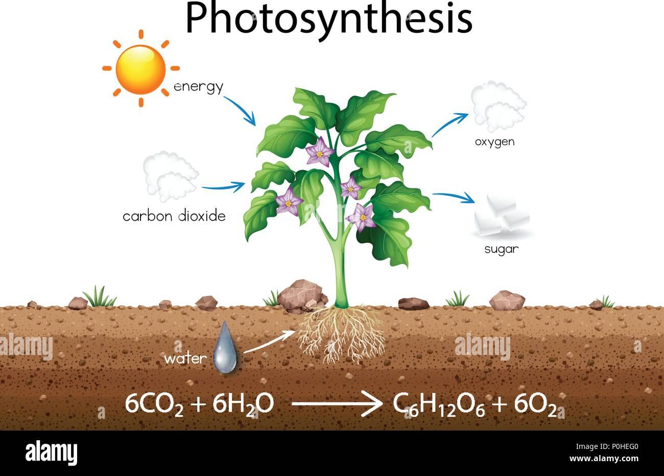 Photosynthesis Diagram Stock Photos Photosynthesis Diagram Stock