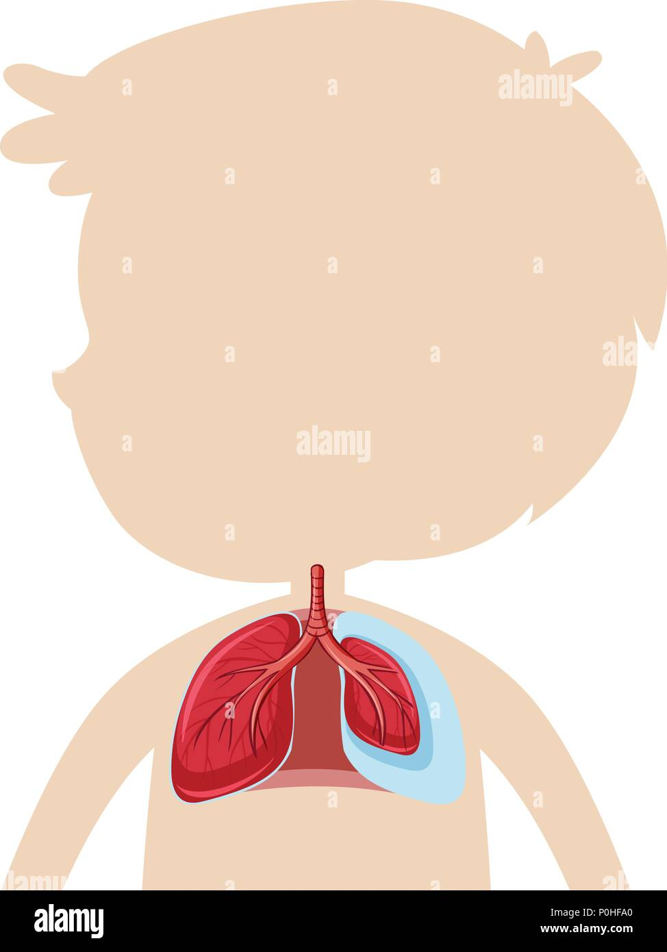 An Anatomy of Human Lung illustration - Stock Image