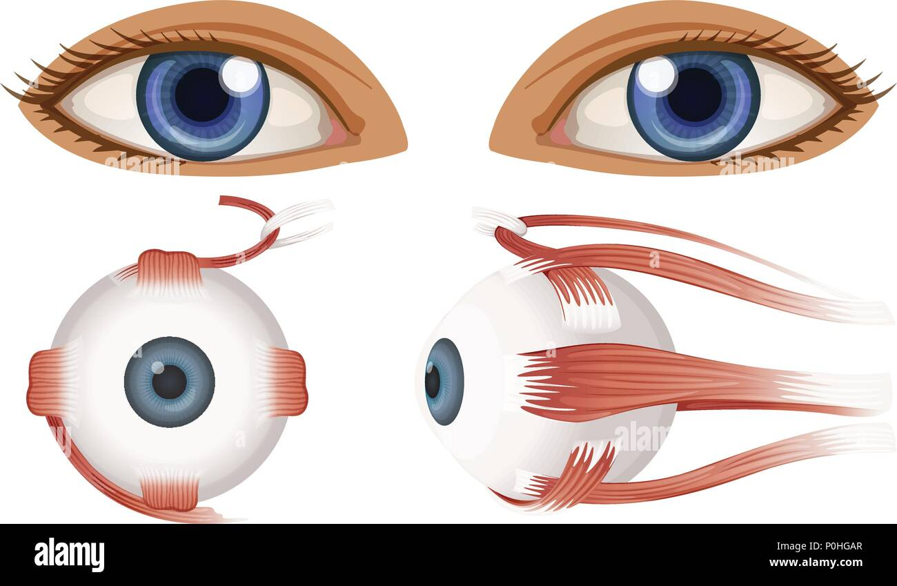 Human Anatomy of Eyeball illustration Stock Vector Art ...
