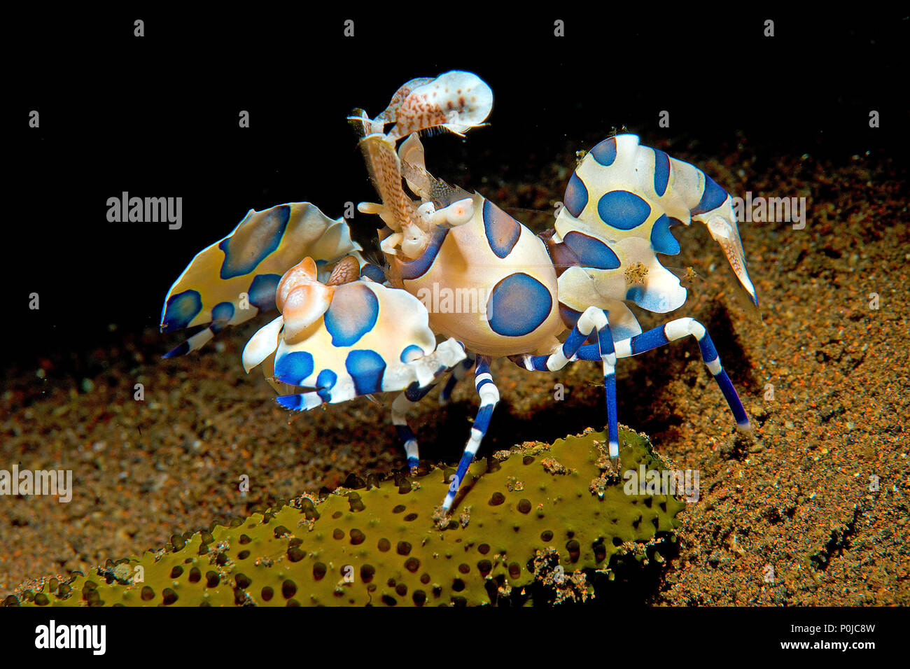 Harlekingarnele (Hymenocera elegans), Bali, Indonesien | Harlequin shrimp (Hymenocera elegans), Bali, Indonesia - Stock Image