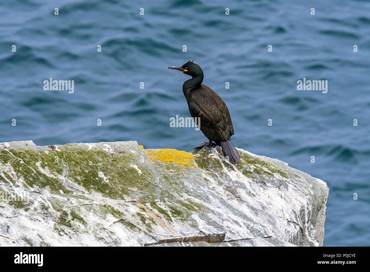 European shag / common shag (Phalacrocorax aristotelis) perched on rock covered in droppings, Shetland Islands, Scotland, UK - Stock Image