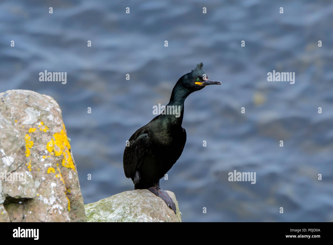European shag / common shag (Phalacrocorax aristotelis) perched on rock in sea cliff in spring, Shetland Islands, Scotland, UK - Stock Image