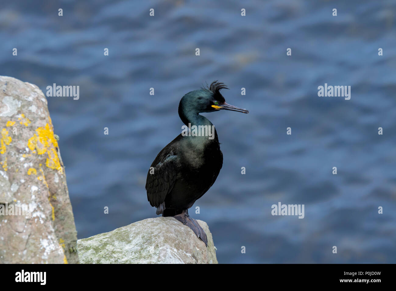 European shag / common shag (Phalacrocorax aristotelis) perched on rock in sea cliff in spring, Shetland Islands, Scotland, UK Stock Photo
