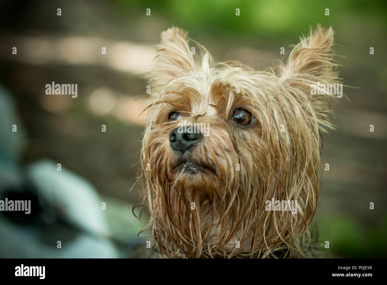 awesome Small Cute Smart Part - 3: Cute Yorkshire Terrier on a walk Cute puppy. Terrier with a smart look. A  small handsome erzhensky terrier. A dog with an intelligent look.