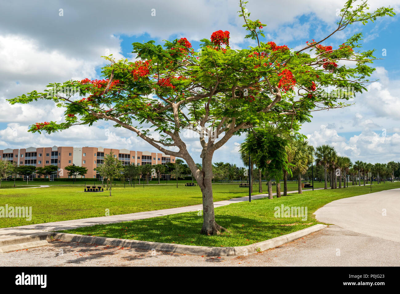 Vibrant red flowers; Royal poinciana; Delonix regia; flame tree; south central Florida; USA - Stock Image