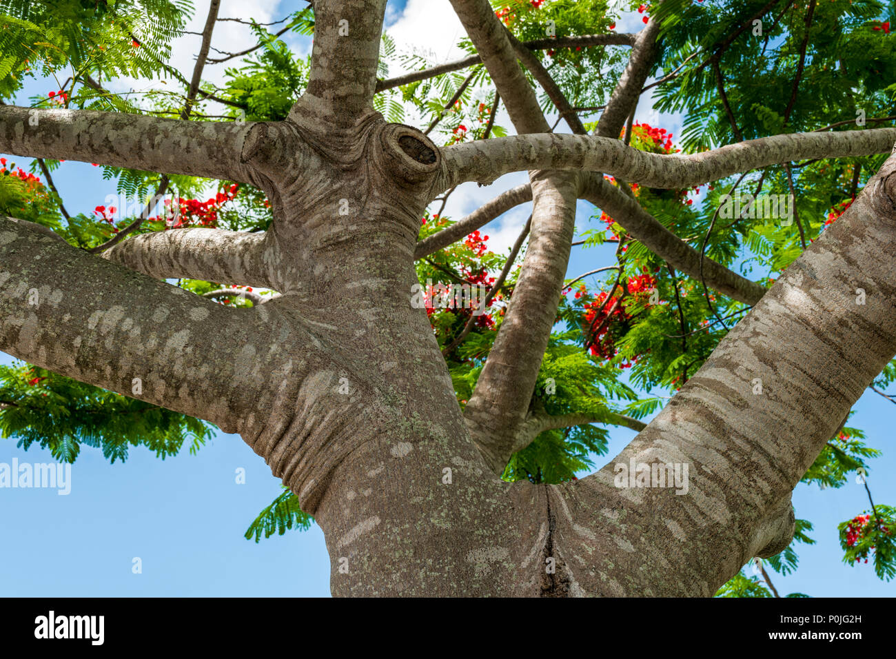 Trunk & vibrant red flowers; Royal poinciana; Delonix regia; flame tree; south central Florida; USA - Stock Image