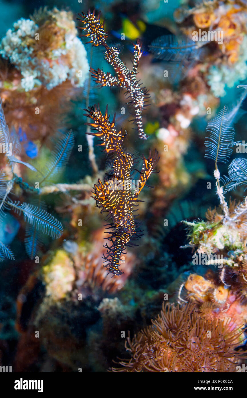 Ornate ghostpipefish {Solenostomus paradoxus} pair.  Lembeh, Sulawesi, Indonesia. - Stock Image