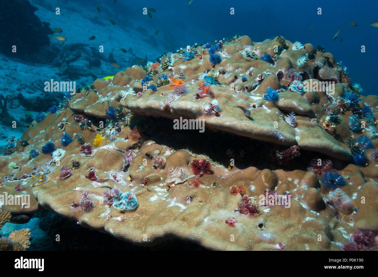 Christmas Tree Worms Spirobrancho Giganteus On Porites Coral