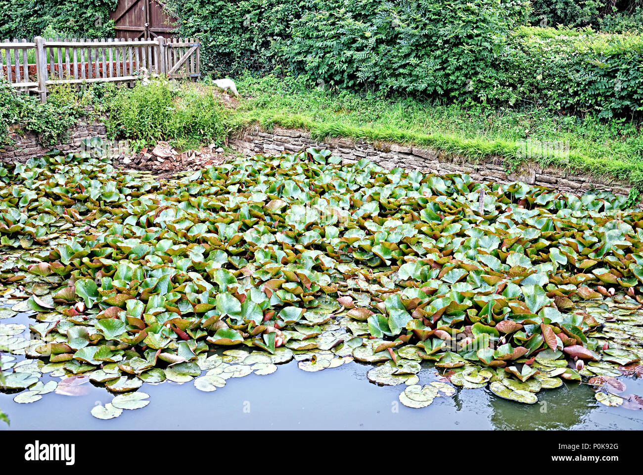 A Pond in Tenterden - Stock Image