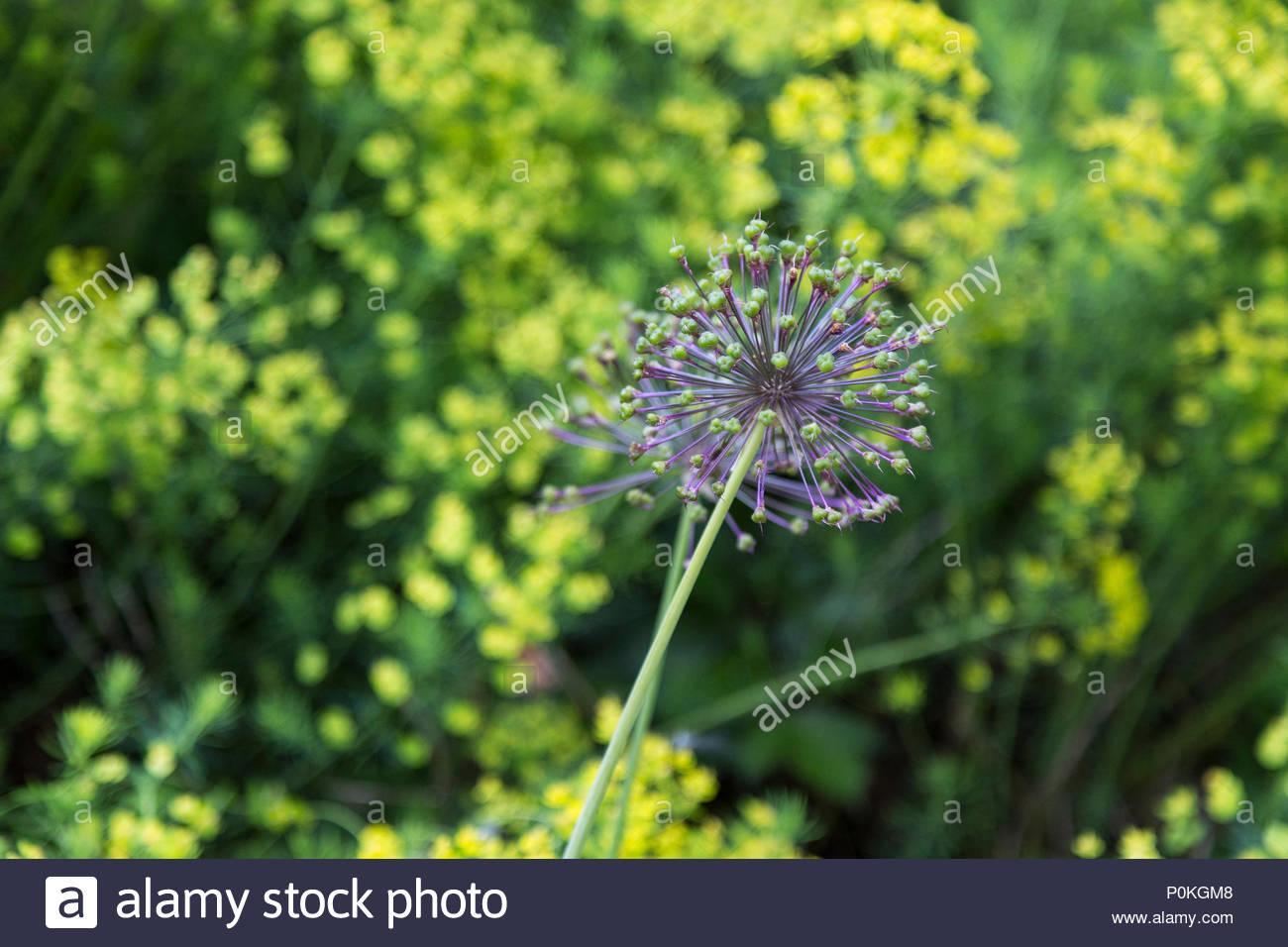 Purple Allium Flowers Starting To Bloom With Shorter Yellow Flowers
