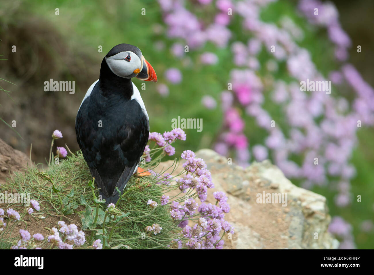 Puffin (Atlantic), Fratercula arctica, on a cliff, amongst thrift at Dunnet Head, Caithness,Highlands,Scotland,UK - Stock Image