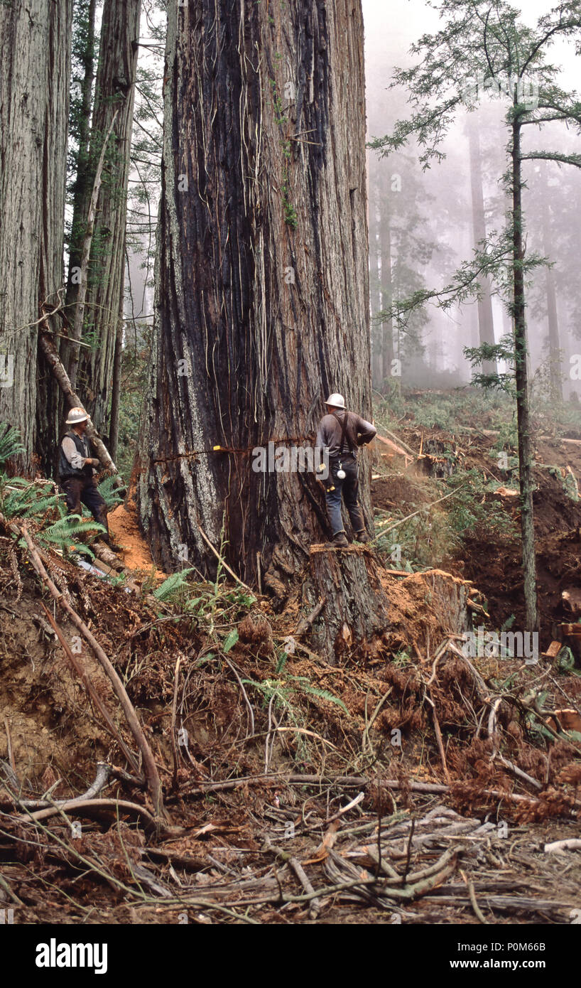 Faller standing on springboard, using chainsaw, making back cut, Redwood logging operation, 'Sequoia simpervirens' , Del Norte County, California. - Stock Image