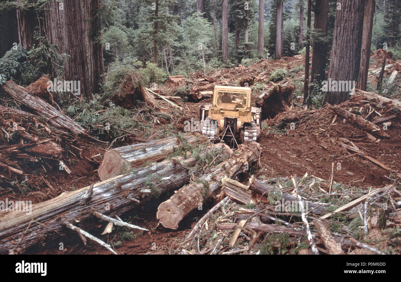 D-8K Caterpillar tracklayer skidding Redwood logs, 'Sequoia simpervirens', logging operation, California. - Stock Image