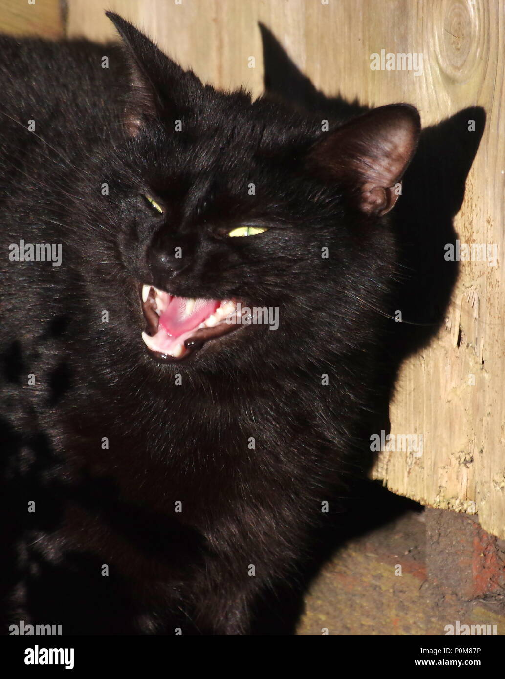 Page 2 Black Cat Licking Lips High Resolution Stock Photography
