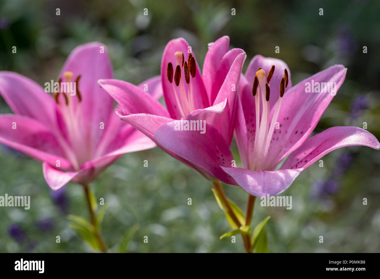 Close up of pink liles flowers common names for species in this close up of pink liles flowers common names for species in this genus include fairy lily rainflower zephyr lily magic lily atamasco lily and rain li izmirmasajfo