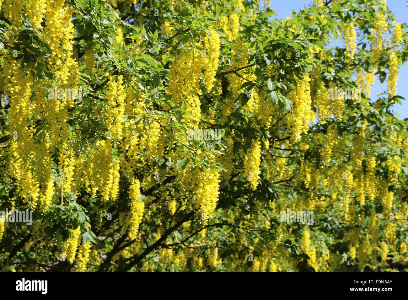Cluster of yellow hanging flowers stock photos cluster of yellow close up of yellow flowers on laburnum stock image mightylinksfo
