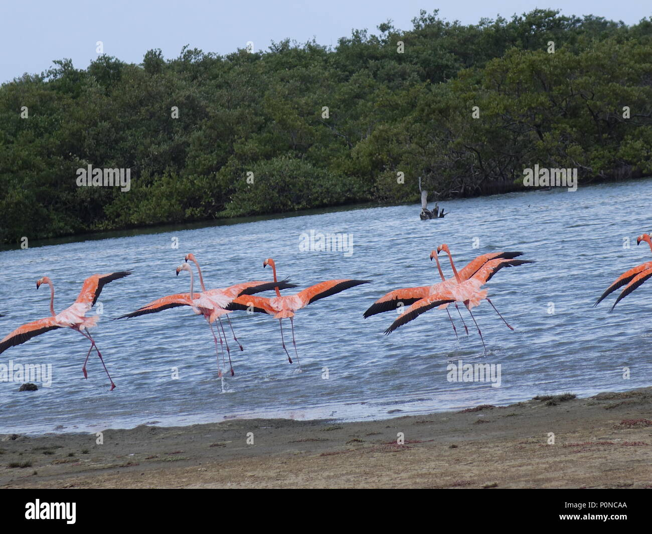 Flamingo's Taking off in the nature - Stock Image