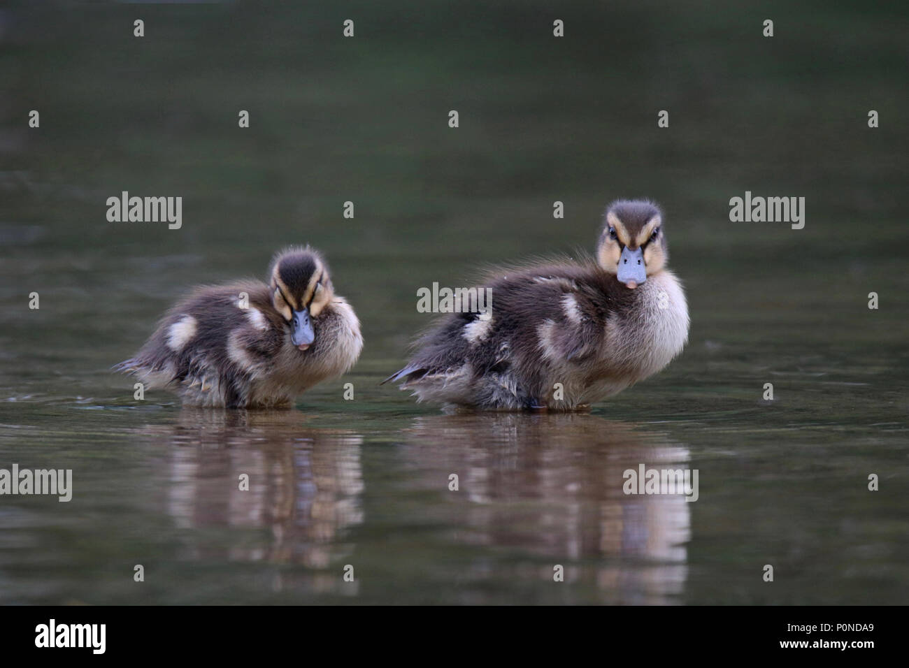 A couple of cute mallard ducklings resting in the shallow water near the edge of a pond. - Stock Image