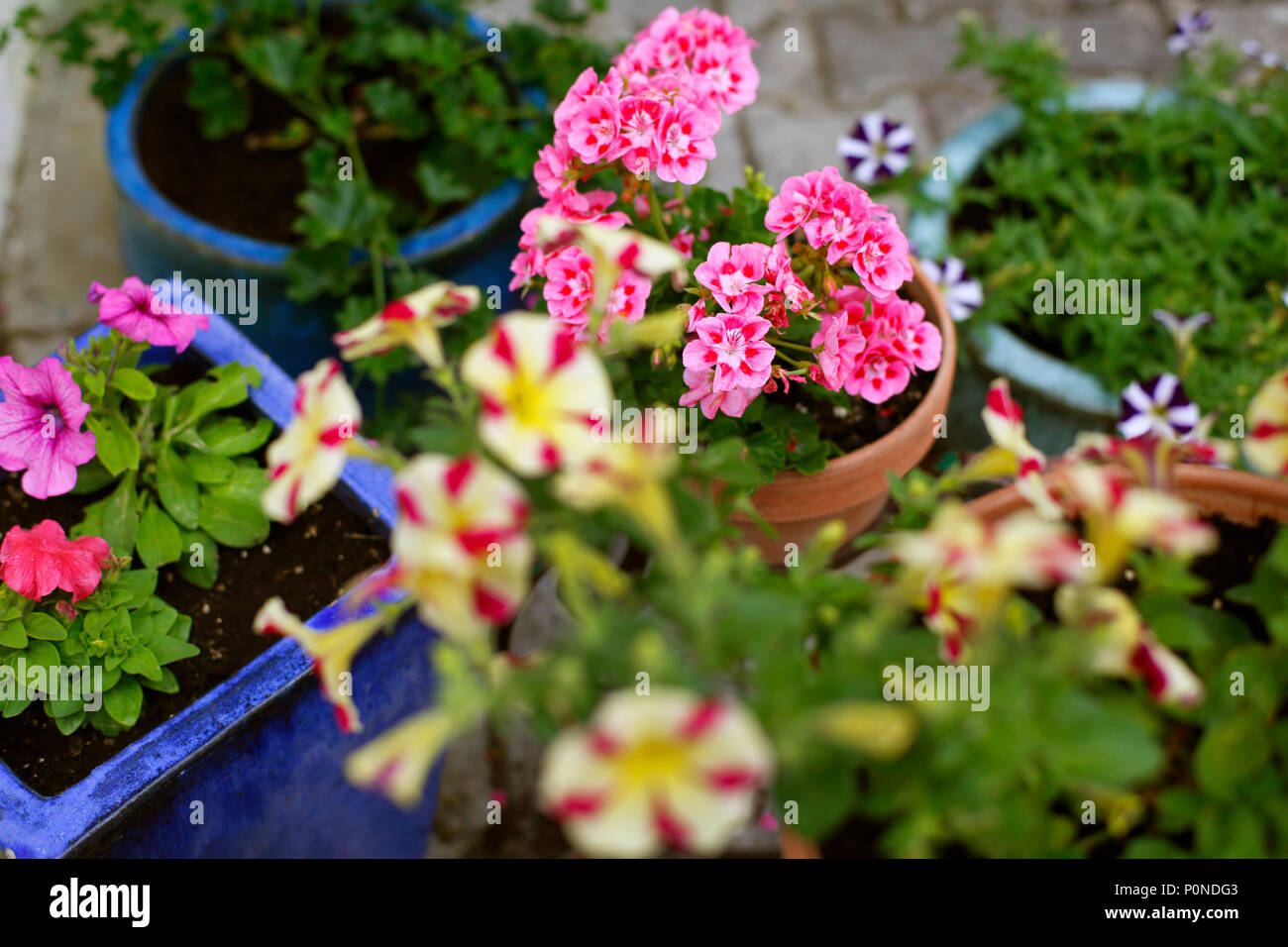 Potted Summer Plants Petunias And Geraniums Stock Photo