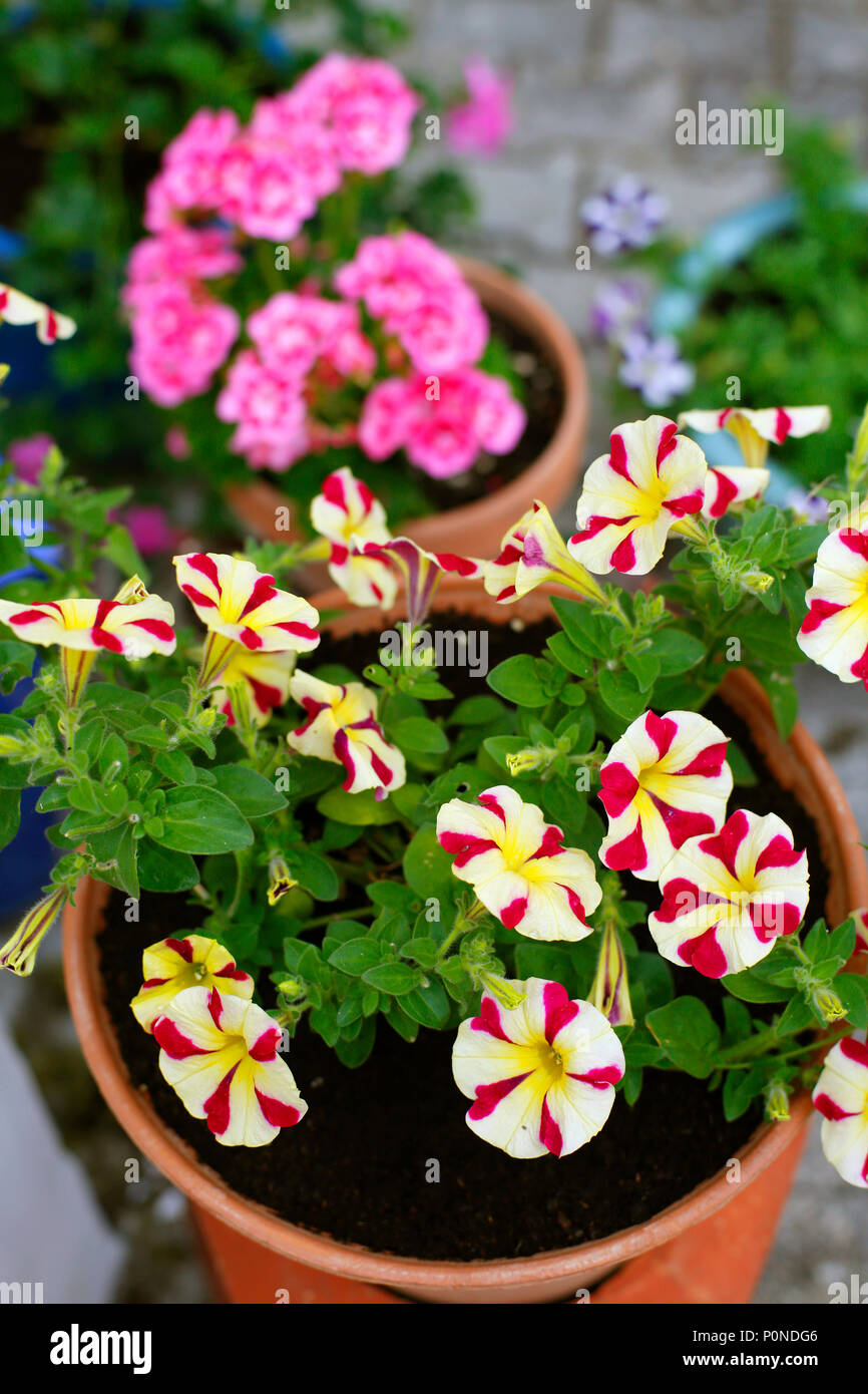 Potted Summer Plants, Petunias And Geraniums.   Stock Image