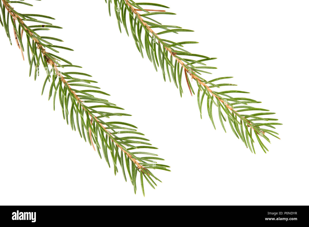 Spruce (Picea abies) branch and needles isolated on white background. - Stock Image