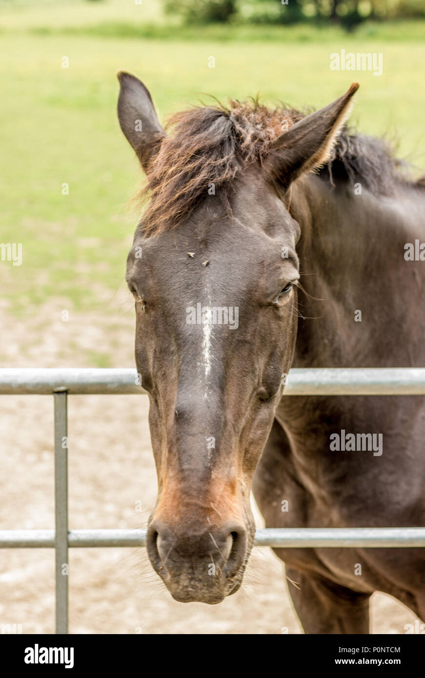 Horses leaning over a paddock gate - Stock Image