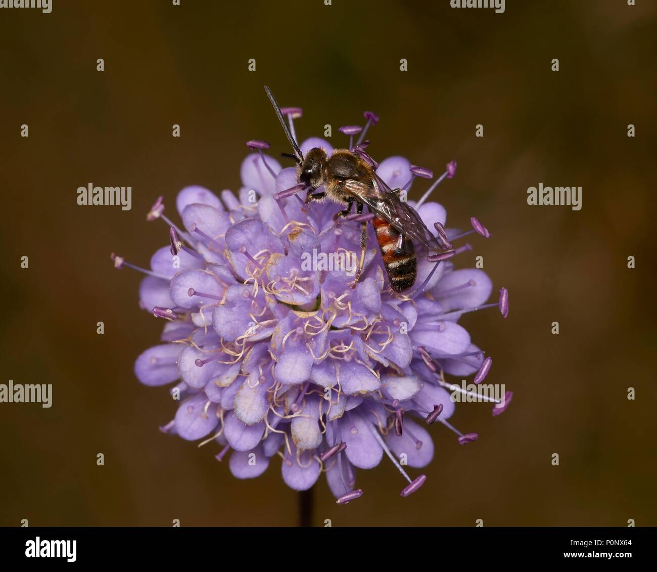 common furrow bee, Lasioglossum calceatum, male, on field scabious, Knautia arvensis, Shropshire, England, UK - Stock Image