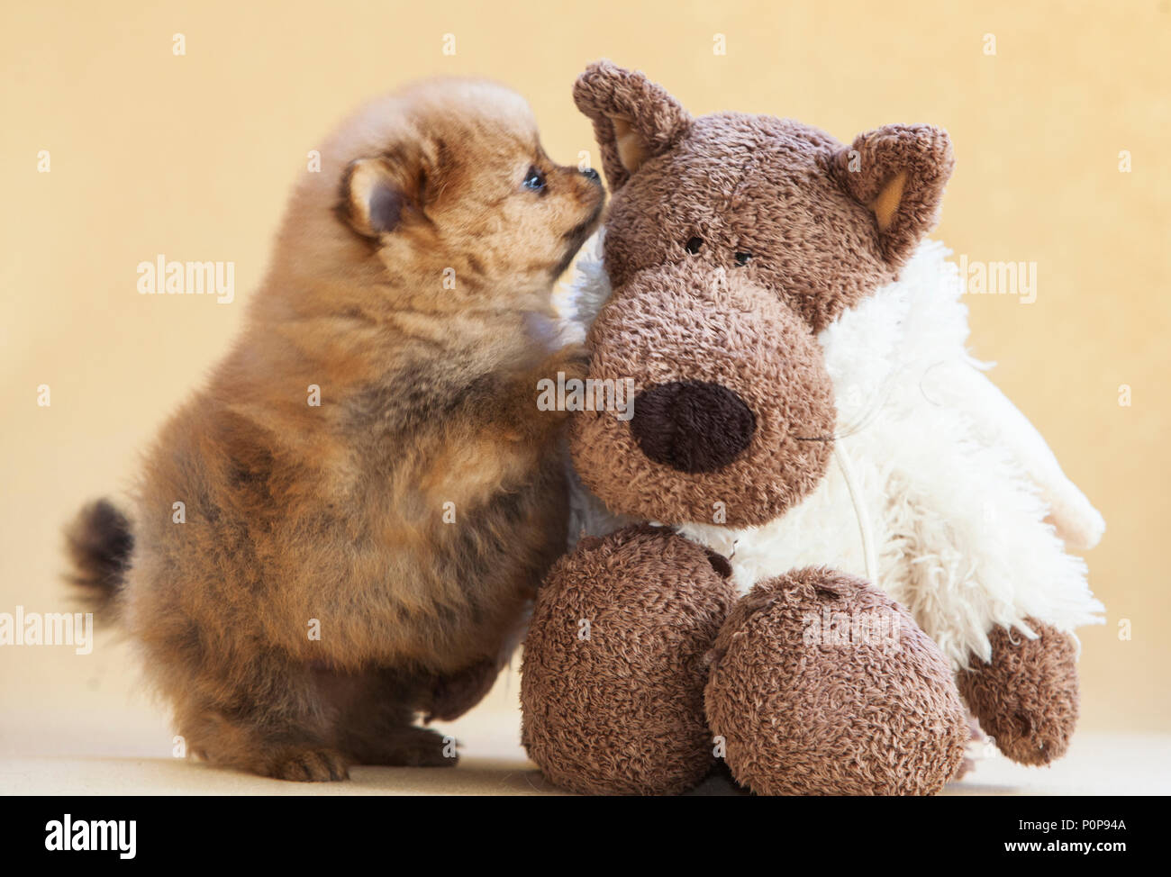 Pomeranian Puppy Dog Playing With A Teddy Bear Stock Photo