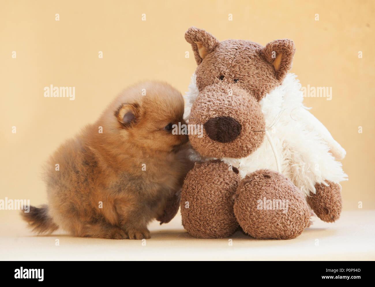 Teddy Bear Pomeranian Stock Photos Teddy Bear Pomeranian Stock