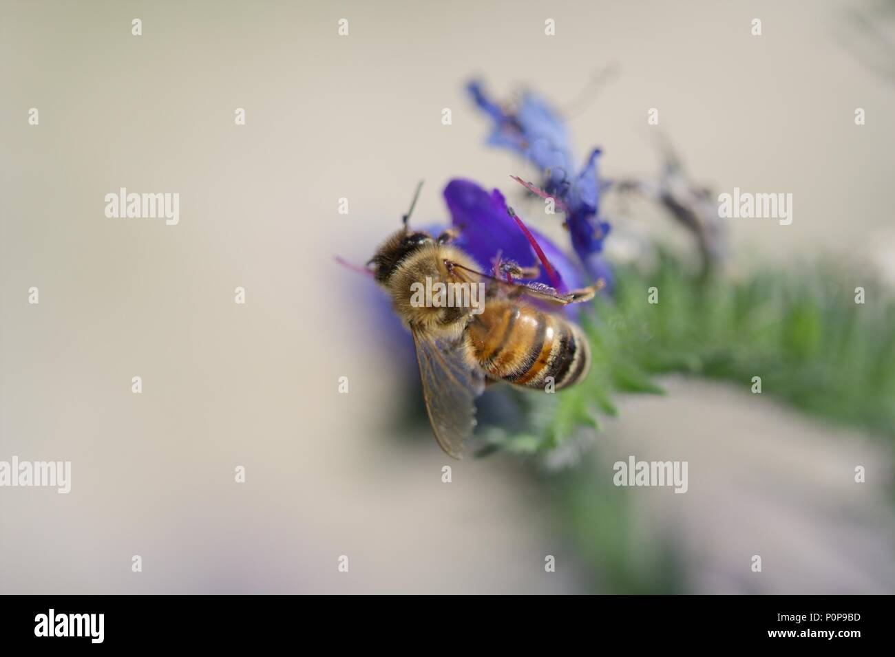a honey bee at pollination - doing great work for our nature - safe them! - Stock Image