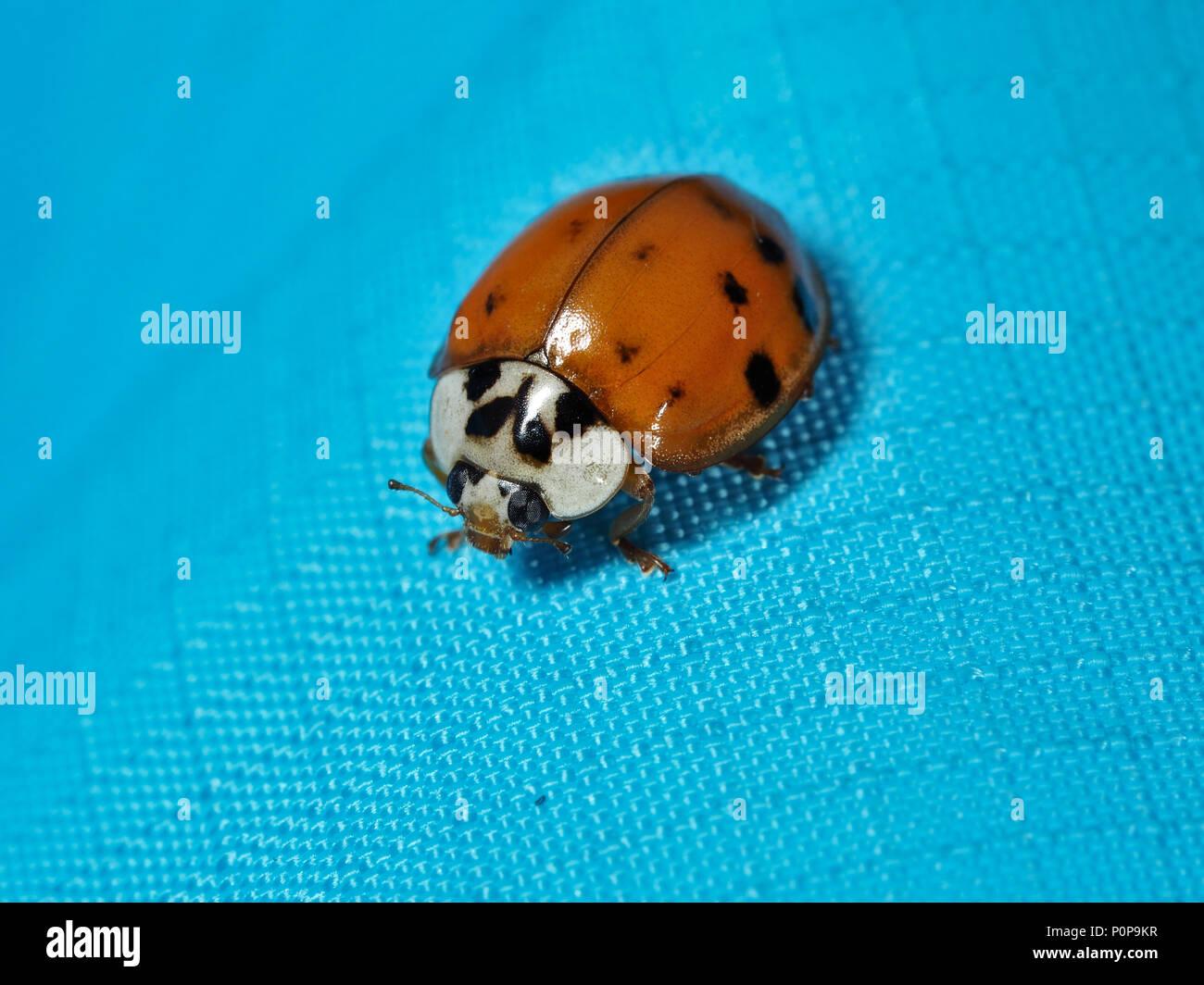 Asian ladybeetle (Harmonia axyridis) on a blue fabric, close-up view Stock Photo