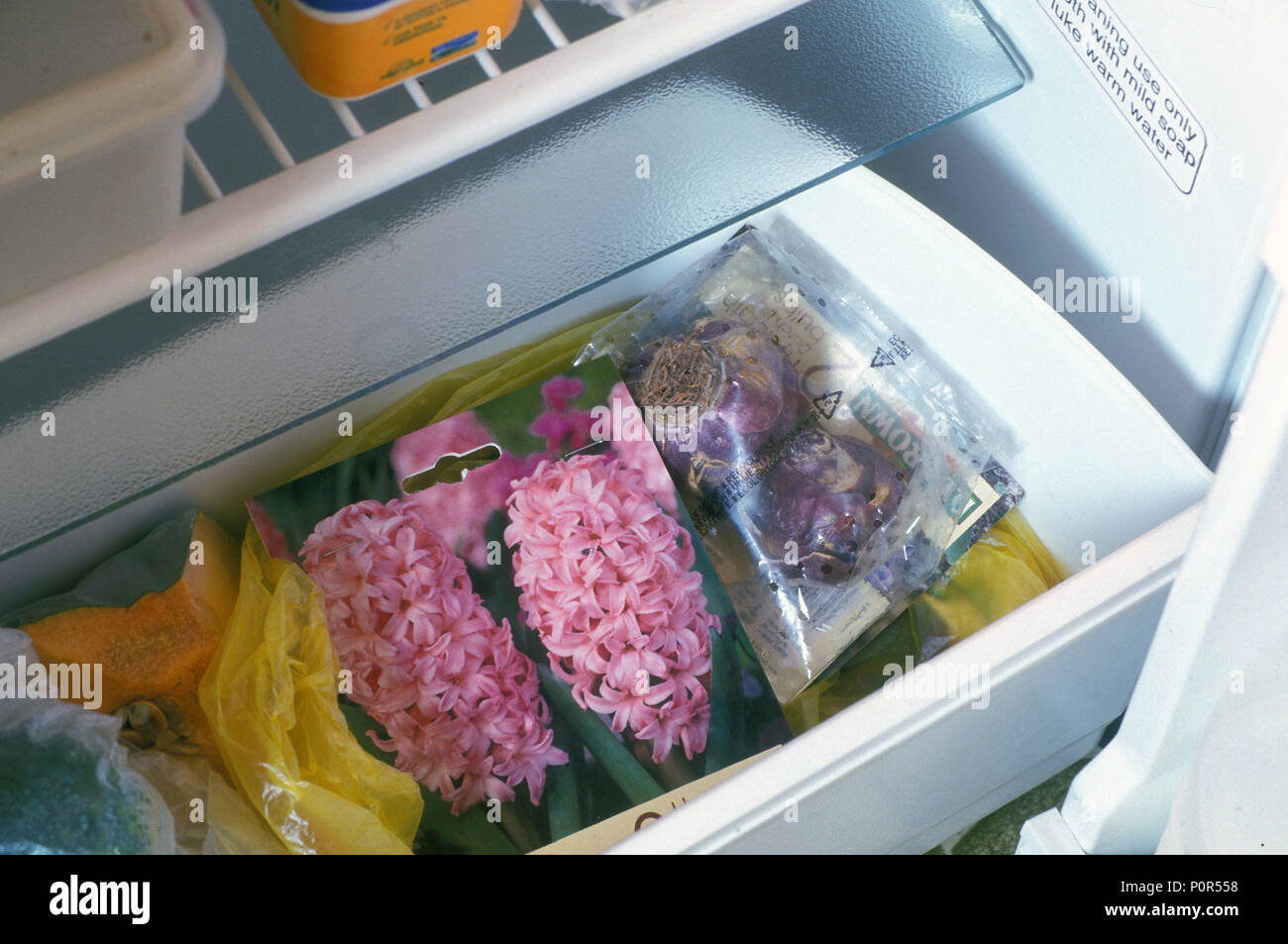 STORING HYACINTH BULBS IN CRISPER DRAWER OF FRIDGE. Before planting hyacinths put them into the crisper part of the fridge. Stock Photo