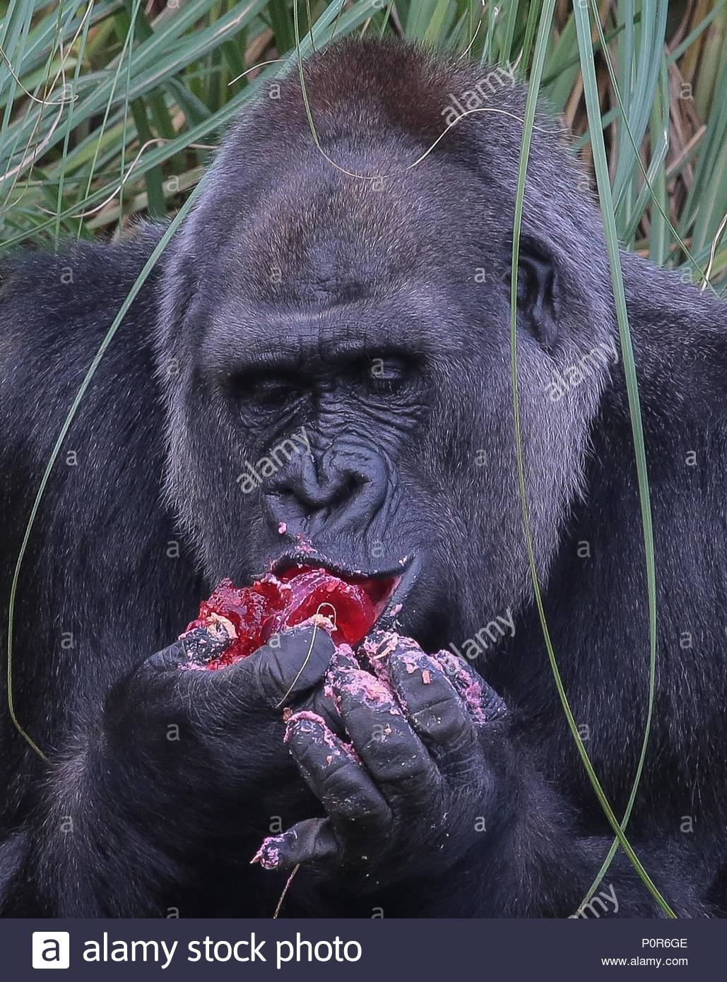 London Zoo Gorilla Zaire Celebrates Her 40th Birthday The 165 Stone Western Lowland Marked Milestone With A Cake Made By Runner Up