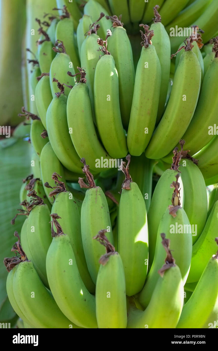 Green organic bananas growing in a private backyard in Darwin, Northern Territory, Australia. Musaceae bananas cultivars. - Stock Image